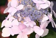 2016 Pantone Colors of the Year / The trendsetting Pantone Color Institute has named twin colors of the year for 2016 – Rose Quartz and Serenity. While pastel pink and blue may conjure up images of babies for many, garden lovers are quick to think of soft pink blooms of hydrangeas like Let's Dance® Diva! and the icy blue flowers of Color Spires® 'Crystal Blue' Salvia. We are pleased they have chosen tones that play prominent roles in flowers for gardens and landscapes. / by Proven Winners Plants