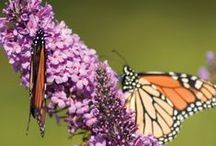 Magical Butterfly Bushes / Our collection of butterfly bushes includes a wide range of colors and mature sizes. Best of all, each shrub is hardy to zone 5, fragrant, non-invasive and beautiful! Plant and sit back to watch the butterflies magically appear, mid-summer through frost.