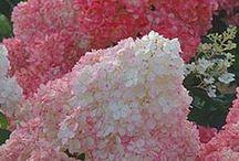 FLOWERS ~ HYDRANGEA / Hydrangea