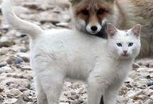 Armenian Van Cats ~