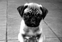 For the love of pug!.....and pits