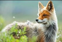 Canidae Kennel / Photos of beautiful members of the Canidae family: dogs, wolves, foxes, and others.