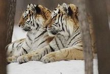 beautiful big cats