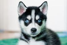 Dream Pets / Top three animals I want: wolves, tigers, and squirrels!