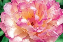 Peony Parade Dreams / by Didi Dreams...