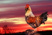 Chickens / by Jeanne Caras