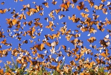 Monarch Tagging / September is tagging month for Monarch #butterflies who are making their trek back to the mountains of Mexico on this annual pilgrimage. Our #tagging event assists the #MonarchWatch organization in tracking the monarchs on their journey.