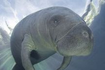 Gentle Giant Manatee