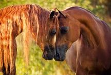 ~Arabian Horses...they speak to my soul~ / by Tina Krous