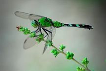 MOTHER NATURE: dragonfly