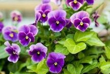 Violets and pansies / My favourite flowers in photos, drawings, paintings and other forms of crafts.