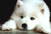 Samoye-able♥ / Samoyed dogs ARE the CUTEST. I have a samoyed/golden retriever..you can only imagine the cuteness. / by Tracie Rasmussen