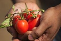 Tomato Love / We love tomatoes in every shape, size and color, fresh, canned or jarred.