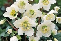 Gardening - Flowers: Helleborus/Clematis/Passiflora/Nigella / Hellebores are bulbs and are in the Family Ranunculaceae; Clematis are, also, in the Family Ranunculaceae.  Passiflora is in the Passifloraceae Family.  Nigella is in the Ranunculaceae Family as well. / by NanceInWA