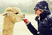 ALPACAS / Fabulous and fluffy animals with bundles of personality!