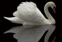 Swans / by Ellie Swanson