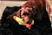 My beautiful Barney  / A chocolate Labrador will make you laugh everyday without fail :)
