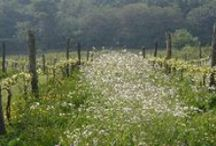 English vineyards / Celebrating the beauty of the English countryside. Vineyards in all weathers.
