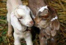 Vermont Goat Dairy / Filled with wiggly ears and springy legs, curious minds and sweet hearts - we love goats!