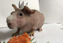 Harry potty / Hairless guinea pig