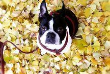 Boston Terriers / I love Boston Terriers.