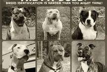 Pitbulls, American Bulldog, American Stafforshire Terrier.....