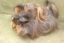Guinea pig / I obviously have a guinea pig or this category wouldn't be relevant. / by Isabelle Grest