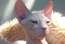 Fotos de gatos / Fotos de gatos. Galería con gatos de diversas razas. / by soyunalbondiga