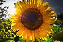 Gardening: Sunflowers / Sunflowers just make you happy!