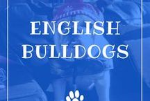 English Bulldog / English Bulldogs information including funny puppy photos, training tips, behavior facts, and care of bulldogs and breed mixes.