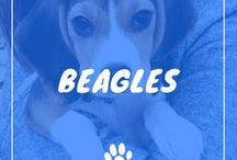 Beagle / Beagle information including funny puppy photos, training tips, behavior facts, and care of Beagles and dog breed mixes.