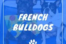French Bulldog / French bulldogs information including funny puppy photos, training tips, behavior facts, and care of frenchies and breed mixes.