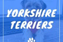 Yorkshire Terrier / Yorkshire Terriers information including funny puppy photos, training tips, behavior facts, and care of yorkies and breed mixes.