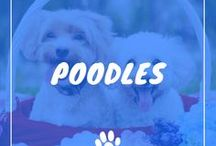 Poodle / Poodles information including funny puppy photos, training tips, behavior facts, and care of poodles and breed mixes.