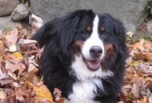 Animals & Pets / I LOVE animals. I own 2 Bernese Mountain dogs and would have 100 if I could. Here are all the cute puppies, kitties, and what not you can get. Funny animal pics too!