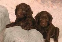 Milo / An American Water Spaniel named after hot chocolate and dark, sweet Southern tea / by Marilyn Hergenrader