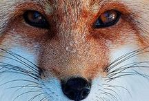 What Does the Fox Say? / Foxes. Furry, cute, sweet foxes. I lovez 'em.
