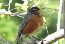 American Robins / by Journey North