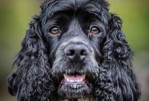 Hurley Dog! / My ever-loving loyal Cocker Spaniel.