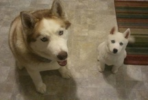 Ivan & Zoey - Siberian Huskey / Ivan & Zoey are two of the CUTEST Siberian Huskies you've ever seen!!  / by Juli Stark-Warren