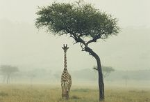 Giraffes / They're tall and awkward. Like me!