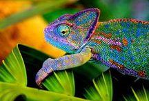 Karma Chameleon!!! / camaleonti, camaleonti e ancora camaleonti