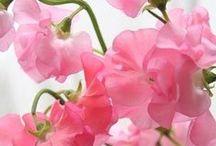 ** Pink **