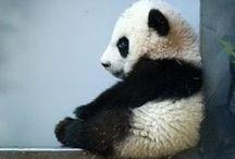 Panda, Panda, Panda, Pandaaa!