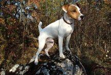 My dog & friends / My dog - ROCCO - a Jack Russell Terrier