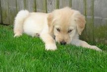 Goldens / by Shelley