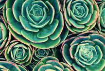 Plants {Succulents}