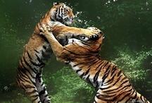 tiger tiger burning bright / by Cheryl Barron
