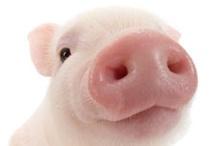 Piggie Pig Pig / Oink Oink