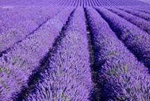 lavender/purple / by Linda Rowley